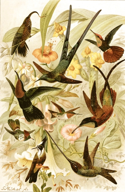 Various_Hummingbirds_2